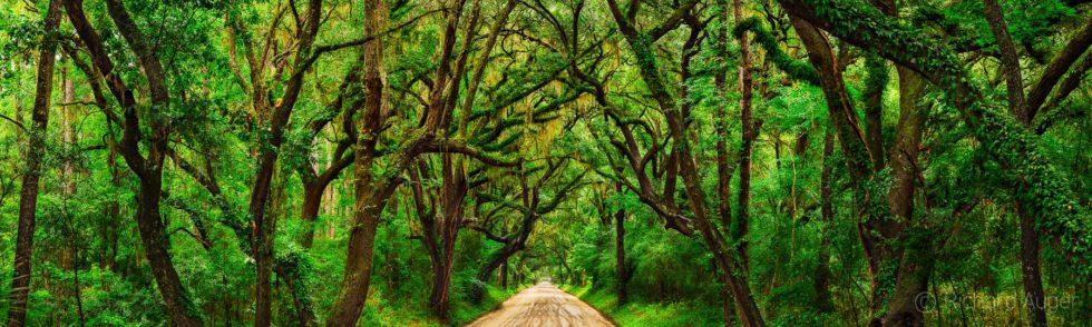 Botany Bay Road, Edisto Island, Tunnel of Oaks, South Carolina, Canopy, Panorama