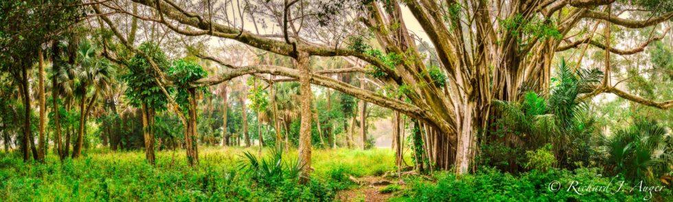 Banyan Tree, Riverbend Park, Jupiter, Florida, Photograph, Landscape, Photographer, Forest, Fog, Ancient