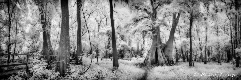 Cat Island Swamp, Louisiana, Forest, Cypress Trees, magical, mystical, black and white, panorama, infrared