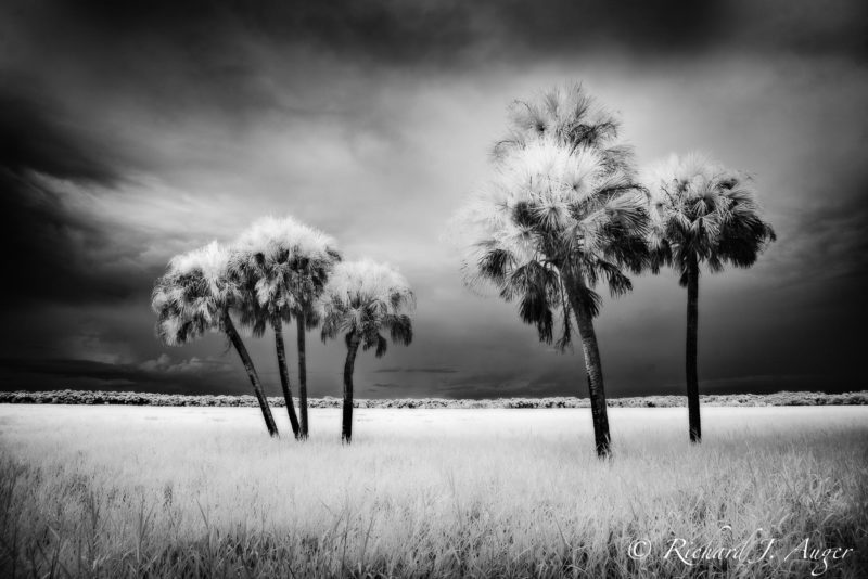 Myakka River State Park, Florida, Palm Trees, Black and White, Monorchrome, infrared, swamp, nature, landscape, photograph, storm