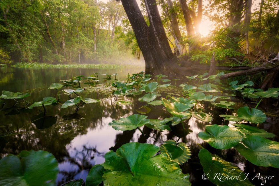 Silver River, Ocala National Forest, Nature, Lillie Pads, Sunburst